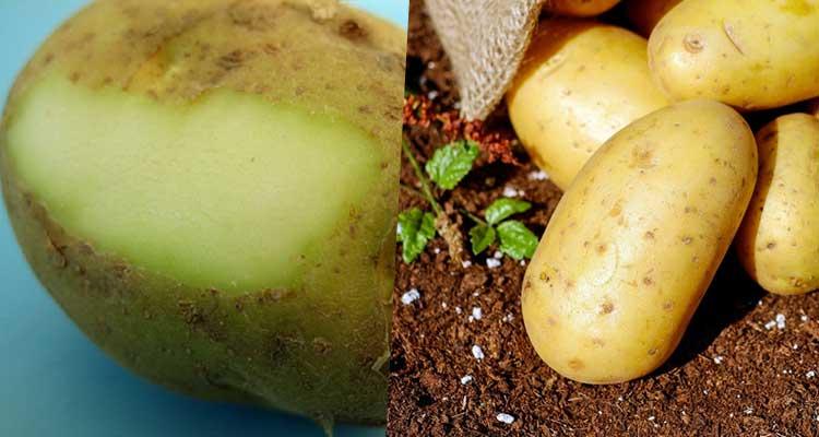https://cuisine.nessma.tv/إحذر البطاطا الخضراء التي تحتوي على سم خطير !!