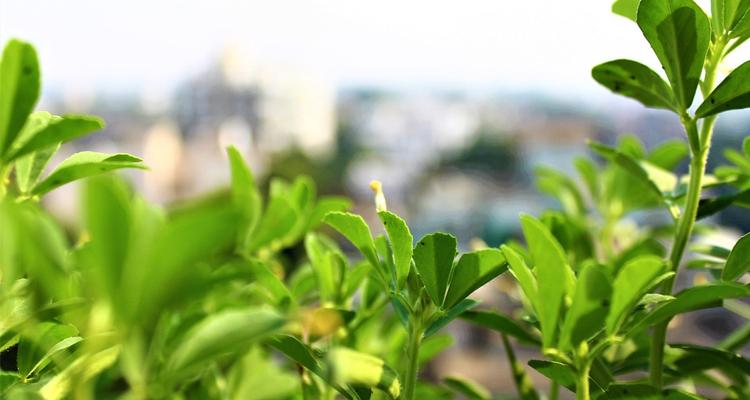 فوائد مذهلة في تناول الحلبة تغنيك عن رائحتها